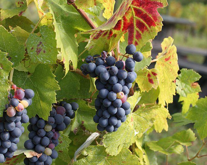 Grappes de raisin des vignes à Artonne